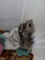 Filhotes de hamsters anão russo