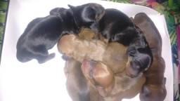 Filhotes de mine cofaps Basset