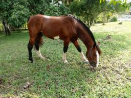 Cavalo crioulo bagual