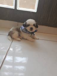Vendo  cachorro shih Tzu macho mini porte pequeno