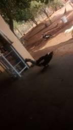Patos e 1 pata femea