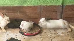 Vendo filhotes de coelhos vendo também às matrizes