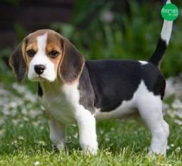 Beagle fêmea disponível a ponto entrega presenteia sua família
