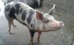 Porco meia seva