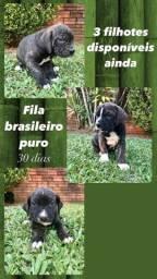 Filhotes de Fila Brasileiro - Últimos 3 filhotes