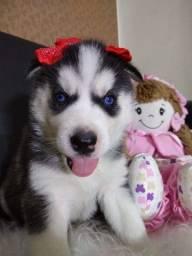 Filhotes de Husky Siberiano c/ pedigree