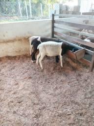 Cordeiros, carneiros, borregos