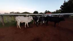 Vacas p venda