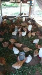 Frangos caipirão e porcos caipira / Orgânico   .