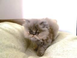 Gato Persa (fêmea filhote - 2 meses)