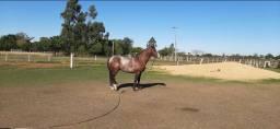 Cavalo garanhão quarto de milha e égua mestiça