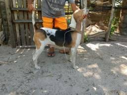 Cachorra beagle