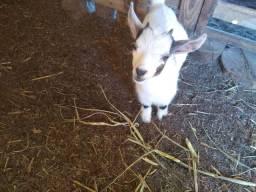 vendo filhote de mini cabra africana
