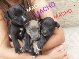 Doação de filhotes de cachorros vira-lata misturado cm pitbull