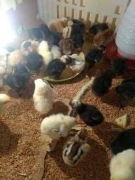 Pinto de galinhas capoeira