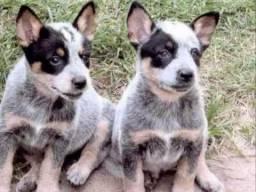 Filhotes Boiadeiro Australiano Blue / Red Heeler Garantia & Pedigree