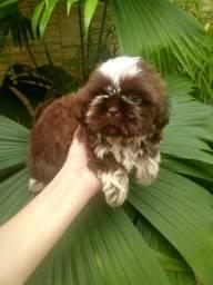 Macho shih tzu com pedigree CBKC