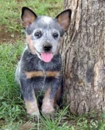 Filhote Boiadeiro Australiano!!Blue Heeler Com Pedigree e Garantia de Saúde