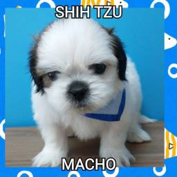 Lindíssimos filhotes de Shihtzu na MK DR PET