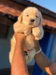 Golden Retriever com pedigree e microchip em ate 12x