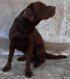 Labrador Procura Namorada!!!
