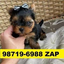 Canil-Filhotes Cães Pet BH Yorkshire Poodle Basset Lhasa Shihtzu Maltês Bulldog