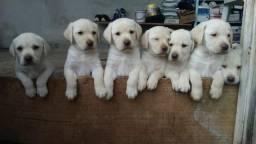 Labrador a venda