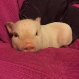 Doando mini porco