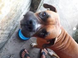 Boxer macho 15 meses