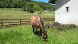Cavalo crioulo Tesourinha 2 da Ibirapuera