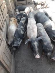 Vende-se porcos vivos caipira