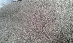 Vendo semente de Aveia preta e Azevem