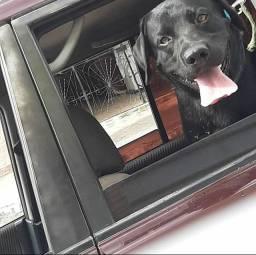 Sheik (labrador) refazendo seu cãorém