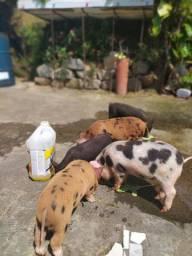 Vendo filhotes de mini porco