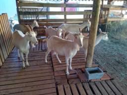 Cabras de leite