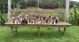 Beagle inglês(promoção)
