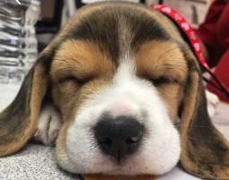 Presente Aqui!! Beagle Filhote 13 Polegadas com Pedigree e Garantia de Saúde