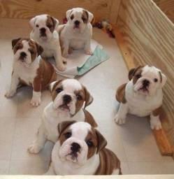 Bulldog Inglês contrato de garantia genética e viral