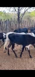 Bezerros e Bezerra gado de corte