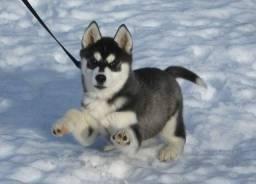 Husky Siberiano todos pedigree e suporte veterinario *
