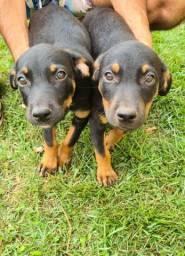 Vendo filhotes de Rottweiler 3 meses