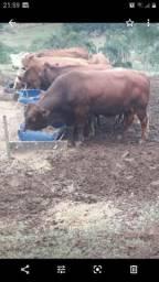 Vendo ou troco touro angus