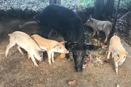 Porcos e leitões caipiras