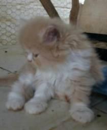 Lindos filhotes de gatinhos persa