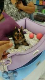 Yorkshire Terrier Fema Miniatura