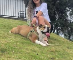 Bulldog Ingles Fêmea