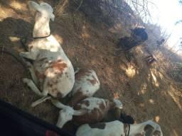 Vendo ovinos