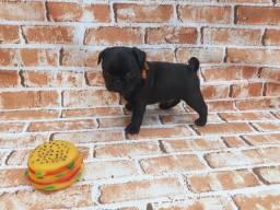 Pug Macho black