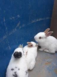 Coelhinho filhotes