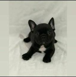 Bulldog Francês Macho disponível com 2 doses de vacinas